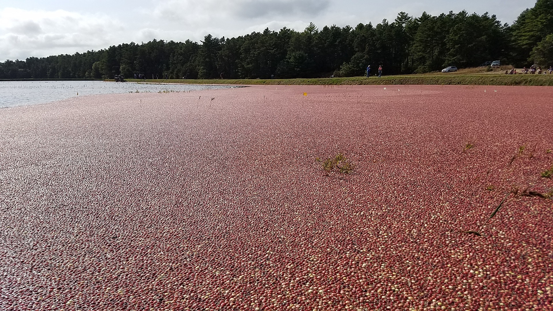 Massachusetts Cannabis Cranberry Bog